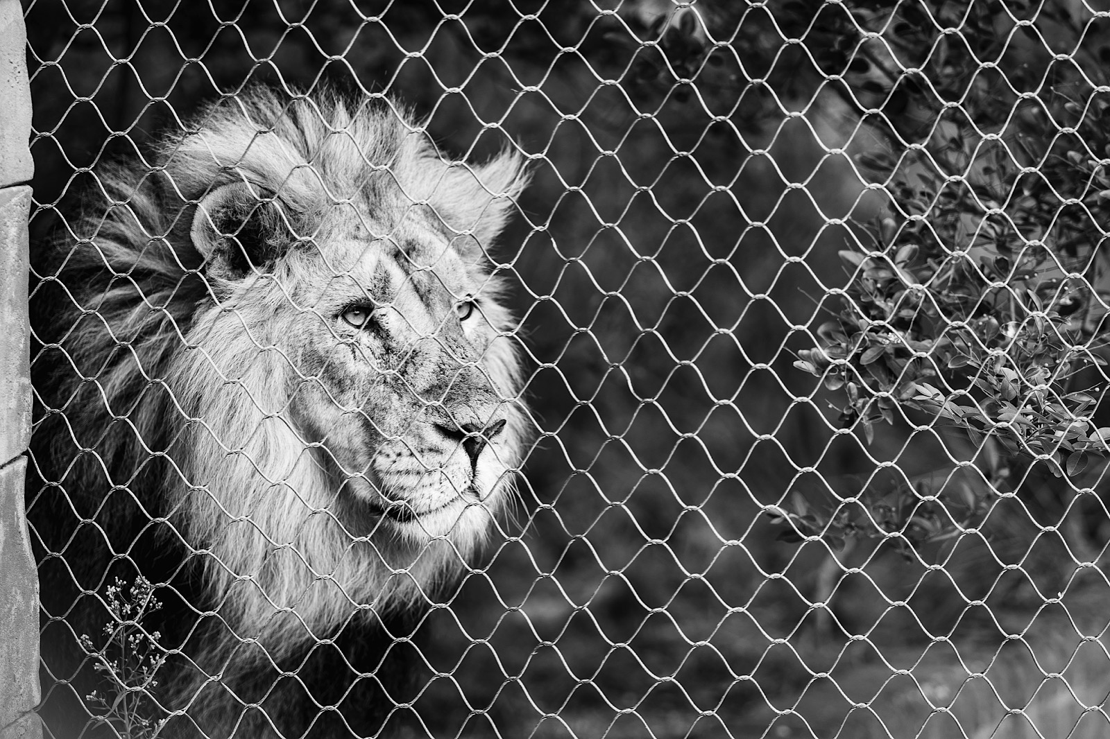 Lion looking through fence